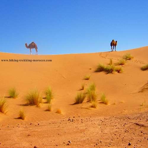 Camel trekking desert